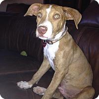 Adopt A Pet :: Ryder - Gilbert, AZ