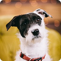 Adopt A Pet :: Ritz - Portland, OR