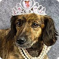 Adopt A Pet :: Gigi Gelato - Houston, TX