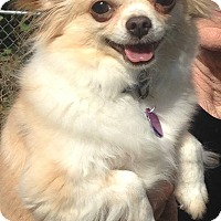 Adopt A Pet :: Kipper - Elkhart, IN