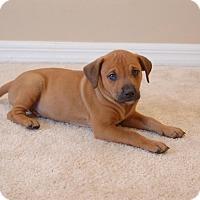 Adopt A Pet :: Scout - Windermere, FL
