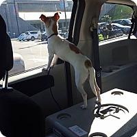 Adopt A Pet :: Tinker - Lacey, WA