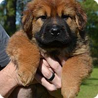 Adopt A Pet :: Boss - Washington, DC