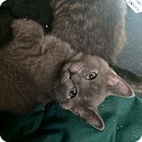 Adopt A Pet :: Sugarbaby #1 - Lunenburg, MA