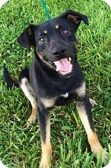 Shepherd (Unknown Type) Dog for adoption in Leesburg, Virginia - Henry- 28lbs!