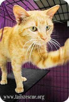 Domestic Shorthair Cat for adoption in Maple Grove, Minnesota - Shortcake