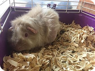 Guinea Pig for adoption in Bryan, Ohio - pig