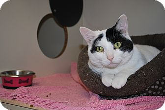 Domestic Shorthair Cat for adoption in New Castle, Pennsylvania - Mollie