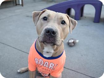 American Pit Bull Terrier Mix Dog for adoption in Brooklyn, New York - BELLA RUSE