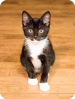 Domestic Shorthair Kitten for adoption in Chicago, Illinois - Ellie