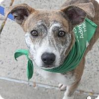 Adopt A Pet :: Optimus - Washington, DC