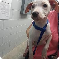 Adopt A Pet :: Riff - Paducah, KY