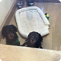 Adopt A Pet :: Mom and Son Doxie - Shawnee Mission, KS