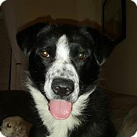 Adopt A Pet :: Socks - Edmonton, AB