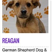 Adopt A Pet :: Reagan - Patterson, NY