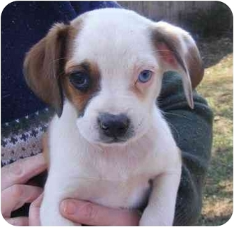 Eddy Adopted Puppy Baby Pug Mix Rochester Nh Pug Boston Terrier Mix