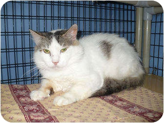Domestic Shorthair Cat for adoption in Colmar, Pennsylvania - Tobee
