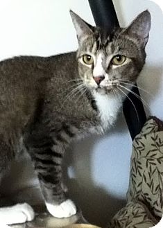 Domestic Mediumhair Cat for adoption in Alexandria, Virginia - Jitters