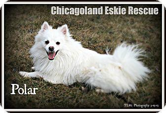 American Eskimo Dog Dog for adoption in Elmhurst, Illinois - Polar