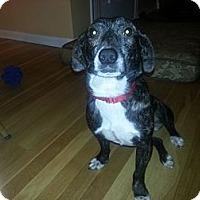 Adopt A Pet :: VIXEN - Avon, OH