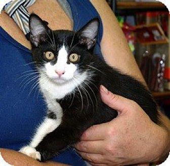 Domestic Shorthair Cat for adoption in Slidell, Louisiana - Domino