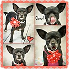 Adopt A Pet :: Clover