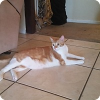 Domestic Shorthair Cat for adoption in Mesa, Arizona - Rocky 2