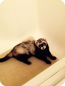 Ferret for adoption in Navarre, Florida - Katt
