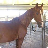 Tennessee Walking Horse for adoption in Centerville, Tennessee - Flashy