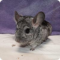 Adopt A Pet :: Ziggy - Montclair, CA