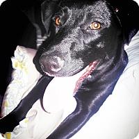Labrador Retriever Mix Dog for adoption in Brattleboro, Vermont - Lillian