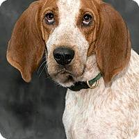 Adopt A Pet :: Ginger - Cashiers, NC