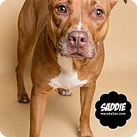 Adopt A Pet :: Sadie - Wyandotte, MI