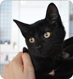 Domestic Shorthair Kitten for adoption in Hyde Park, New York - Riku