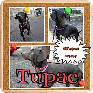 Chihuahua/Dachshund Mix Dog for adoption in Plainfield, Illinois - Tupac