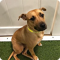 Black Mouth Cur Mix Dog for adoption in New York, New York - Danna