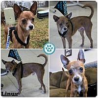 Adopt A Pet :: Linus - Kimberton, PA