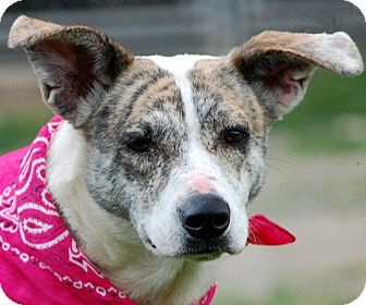 Whippet/Boxer Mix Dog for adoption in Unionville, Pennsylvania - Ilse
