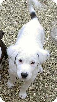 Labrador Retriever/Terrier (Unknown Type, Medium) Mix Dog for adoption in Spring Branch, Texas - Raisin