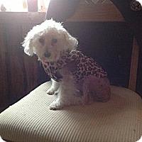 Adopt A Pet :: Precious - Evans, CO