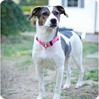 Adopt A Pet :: Scout - Richmond, VA