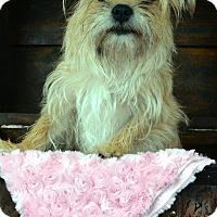Adopt A Pet :: Libby - Bridgeton, MO