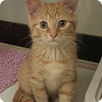 Adopt A Pet :: Butterscotch - Warren, OH