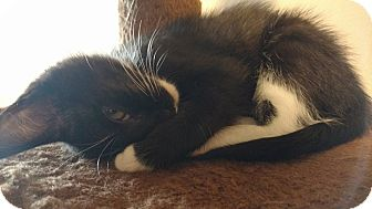 Domestic Shorthair Kitten for adoption in Nashville, Tennessee - Buttercup