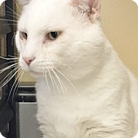 Adopt A Pet :: Snowball - Salisbury, MA