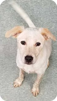 Blue Heeler/Labrador Retriever Mix Dog for adoption in San Angelo, Texas - Ally
