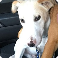 Adopt A Pet :: Ryder - Summerville, SC