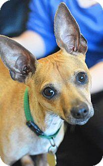 Chihuahua Dog for adoption in New Braunfels, Texas - Brad