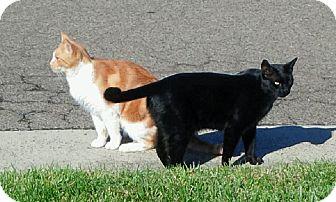 Domestic Shorthair Cat for adoption in El Dorado Hills, California - Black Cat