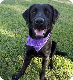 Labrador Retriever Dog for adoption in LAFAYETTE, Louisiana - SADIE